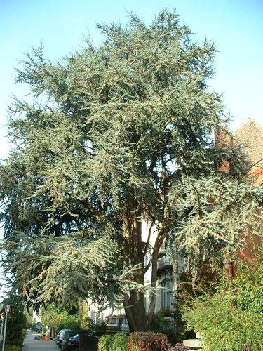 Cèdre bleu de l'Atlas – Woluwé-Saint-Pierre, Avenue Edmond Parmentier, 54 –  10 Octobre 2002