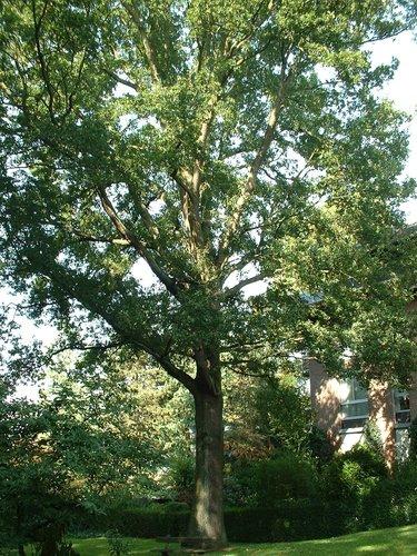 Chêne pédonculé – Woluwé-Saint-Pierre, Clos des Acacias, 6 –  10 Octobre 2002
