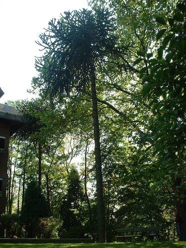 Araucaria du Chili – Woluwé-Saint-Pierre, Clos des Acacias, 2 –  10 Octobre 2002