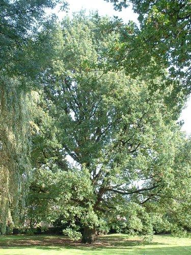 Chêne pédonculé – Woluwé-Saint-Pierre, Rue Konkel, 37 –  10 Octobre 2002