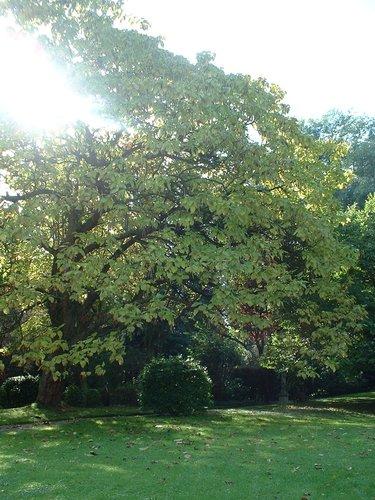 Catalpa à feuilles d'or<br>Woluwé-Saint-Pierre Avenue de l'Escrime, 64