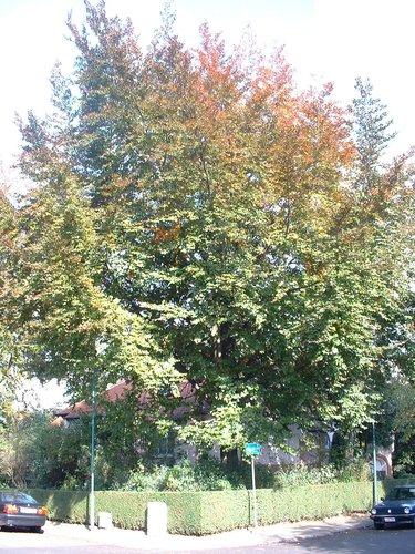 Hêtre pourpre – Woluwé-Saint-Pierre, Avenue de l'Escrime, 82 –  18 Octobre 2002