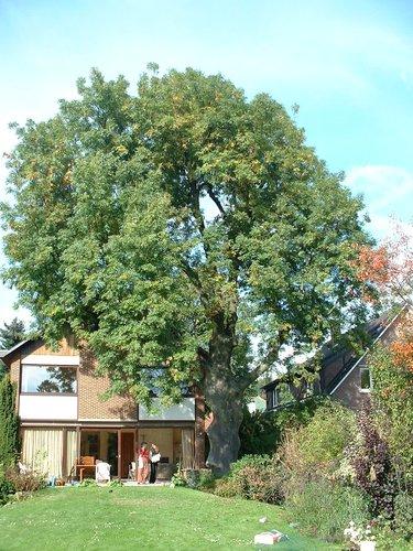 Frêne commun – Woluwé-Saint-Pierre, Avenue de l'Escrime, 87 –  18 Octobre 2002