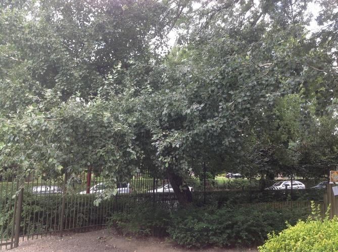 Peuplier grisard – Berchem-Sainte-Agathe, Parc Pirsoul, parc –  02 Septembre 2013