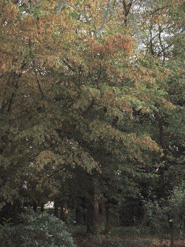 Oosterse amberboom – St.- Pieters - Woluwe, Schermkunstlaan, 65 –  18 Oktober 2002