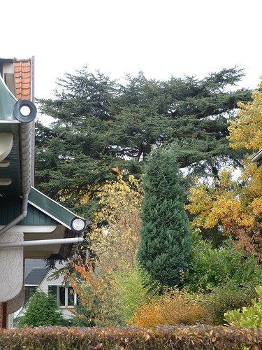 Cèdre du Liban – Woluwé-Saint-Pierre, Avenue de l'Escrime, 49 –  18 Octobre 2002