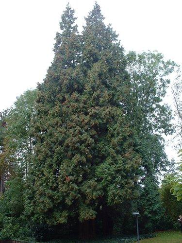 Faux-cyprès de Lawson – Woluwé-Saint-Pierre, Avenue Grandchamp, 150 –  17 Octobre 2002
