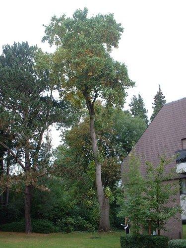 Tulipier de Virginie – Woluwé-Saint-Pierre, Avenue Grandchamp, 150 –  17 Octobre 2002