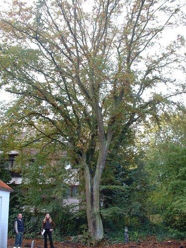 Gewone haagbeuk – St.- Pieters - Woluwe, Grootveldlaan, 156 –  17 Oktober 2002