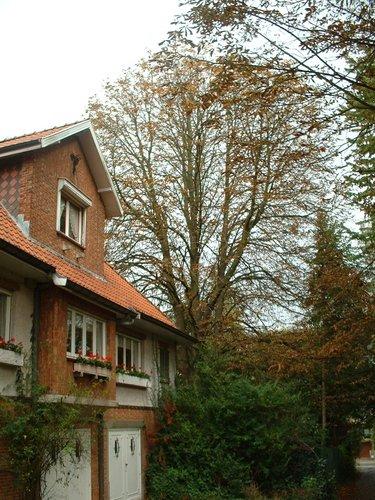 Marronnier commun – Woluwé-Saint-Pierre, Avenue Grandchamp, 215 –  17 Octobre 2002