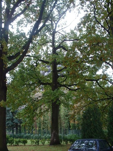 Chêne pédonculé – Woluwé-Saint-Pierre, Avenue Salomé, 2 –  22 Octobre 2002