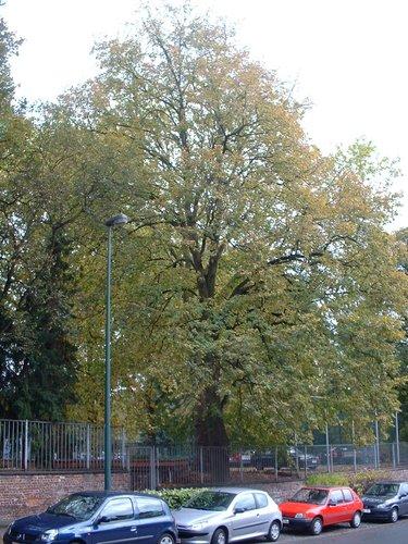 Tilleul à petites feuilles – Woluwé-Saint-Pierre, Avenue Salomé, 2 –  22 Octobre 2002