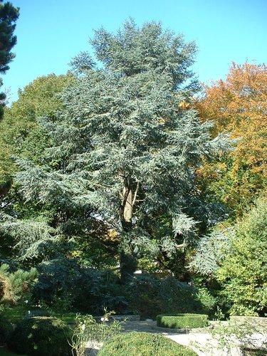Cèdre bleu de l'Atlas – Woluwé-Saint-Pierre, Avenue Grandchamp, 101 –  23 Octobre 2002
