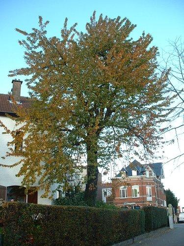 Merisier – Woluwé-Saint-Pierre, Avenue Alfred Madoux, 42 –  23 Octobre 2002