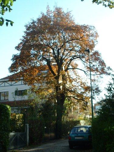 Erable sycomore – Woluwé-Saint-Pierre, La Venelle, 1 –  28 Octobre 2002