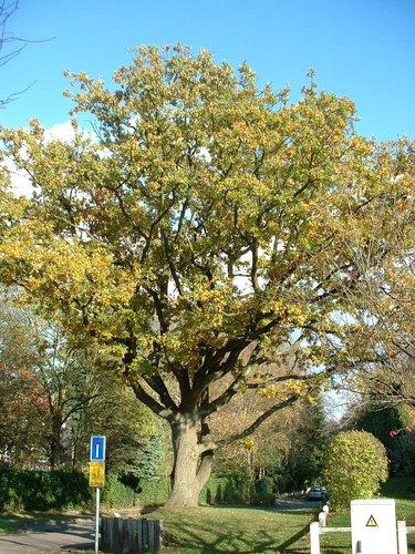 Chêne pédonculé – Woluwé-Saint-Pierre, Val des Bécasses –  28 Octobre 2002