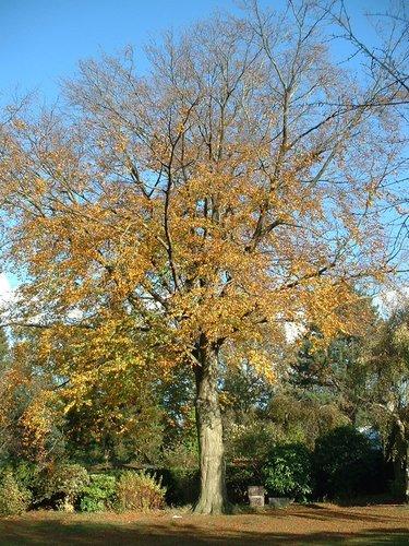 Hêtre d'Europe – Woluwé-Saint-Pierre, Avenue de la Faisanderie, 60 –  28 Octobre 2002