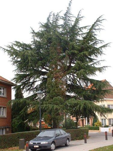 Cèdre de l'Himalaya – Woluwé-Saint-Pierre, Place de l'Orée, 493 –  29 Octobre 2002