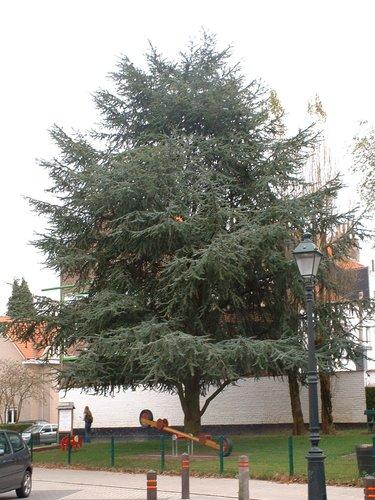 Cèdre bleu de l'Atlas – Woluwé-Saint-Pierre, Place de l'Orée –  29 Octobre 2002