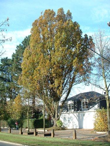 Chêne pédonculé – Woluwé-Saint-Pierre, Avenue des Cactus, 26 –  06 Novembre 2002