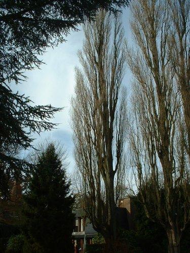 Italiaanse populier – St.- Pieters - Woluwe, Tervurenlaan, 421 –  06 November 2002