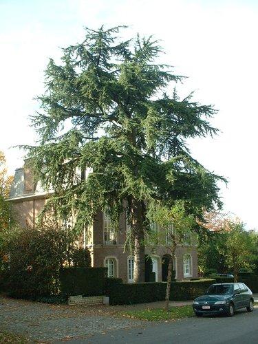 Cèdre du Liban – Woluwé-Saint-Pierre, Avenue des Fleurs, 14 –  06 Novembre 2002