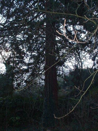 Sequoia géant – Bruxelles, Jardin de l'hôtel Empain, Avenue Franklin Roosevelt, 67 –  13 Décembre 2002