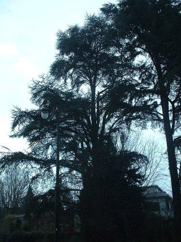 Cèdre du Liban – Bruxelles, Jardin de l'hôtel Empain, Avenue Franklin Roosevelt, 67 –  13 Décembre 2002