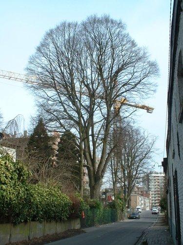 Tilleul argenté – Anderlecht, Propriété rue de la Laiterie, Rue de la Laiterie, 57 –  04 Mars 2003