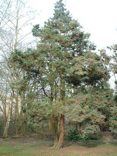 Chamaecyparis pisifera 'Plumosa' – Anderlecht, Propriété rue de la Laiterie, Rue de la Laiterie, 57 –  04 Mars 2003
