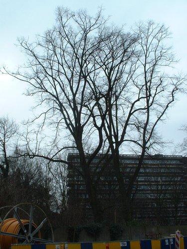 Tilia sp – Anderlecht, Melkerijlaan Eigendom, Melkerijstraat, 57 –  04 Maart 2003