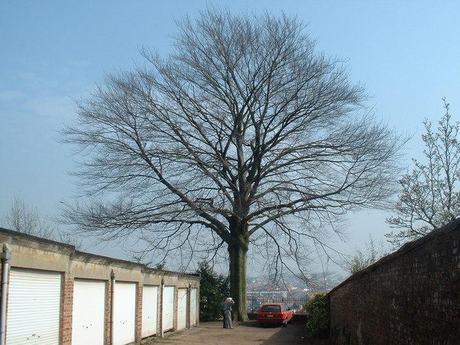 Hêtre pourpre – Ixelles, Avenue de la Couronne, 26-28 –  26 Mars 2003