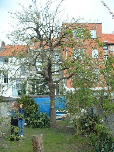 Poirier cultivé – Etterbeek, Rue Antoine Gautier, 56 –  10 Avril 2003