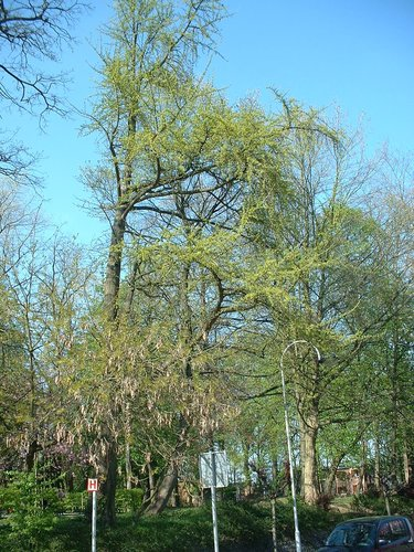 Arbre aux quarante écus – Molenbeek-Saint-Jean, Avenue Carl Requette –  15 Avril 2003