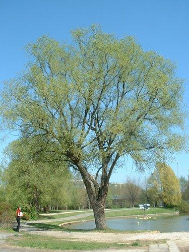 Saule blanc – Anderlecht, Parc de la Pede, Rue des Lapins –  16 Avril 2003