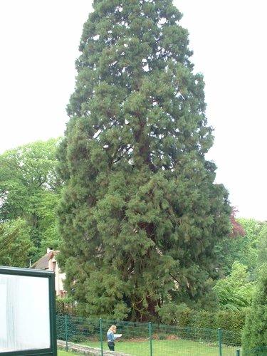 Sequoia géant – Woluwé-Saint-Pierre, Avenue Marquis de Villalobar, 90 –  06 Mai 2003