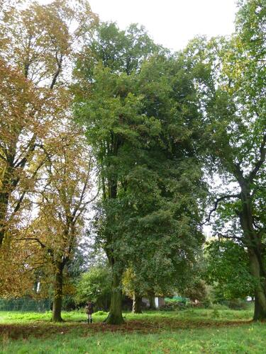 Tilleul commun – Berchem-Sainte-Agathe, Zavelenberg –  17 Octobre 2013