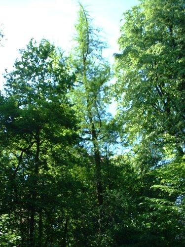 Arbre aux quarante écus – Etterbeek, Parc du collège Saint-Michel, Boulevard Saint-Michel, 24-26 –  07 Mai 2003