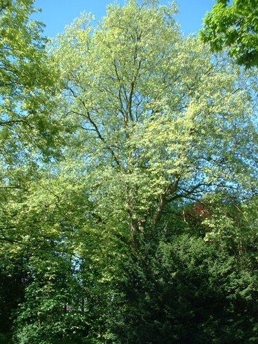 Platane à feuille d'érable – Etterbeek, Boulevard Saint-Michel, 24-26 –  07 Mai 2003
