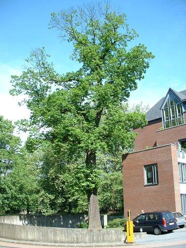 Châtaignier – Woluwé-Saint-Pierre, Parc du collège Saint-Michel, Rue Maurice Liétart –  07 Mai 2003
