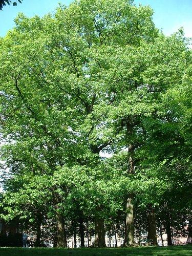 Chêne rouge d'Amérique – Etterbeek, Boulevard Saint-Michel, 24-26 –  07 Mai 2003