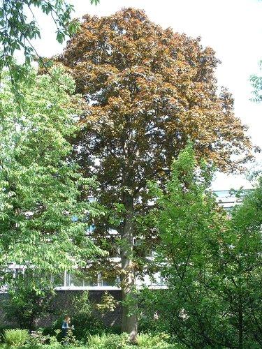 Acer platanoides f. schwedleri<br>Woluwé-Saint-Pierre Parc du collège Saint-Michel Boulevard Saint-Michel, 24