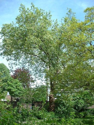 Platane à feuille d'érable – Woluwé-Saint-Pierre, Boulevard Saint-Michel, 24 –  07 Mai 2003