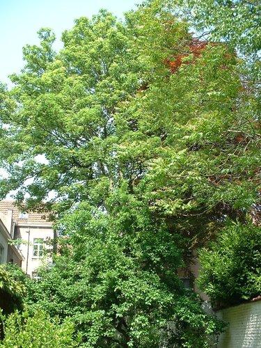 Acer pseudoplatanus f. aureovariegatum – Etterbeek, Boulevard Saint-Michel, 11 –  08 Mai 2003