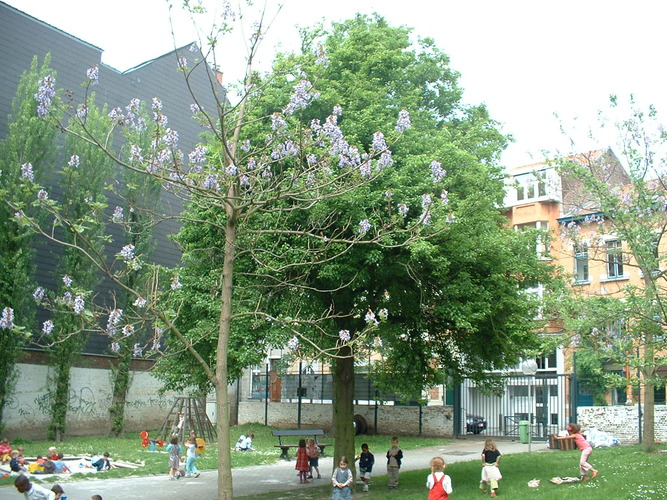 Poirier cultivé – Etterbeek, Rue Gérard, 21 –  08 Mai 2003