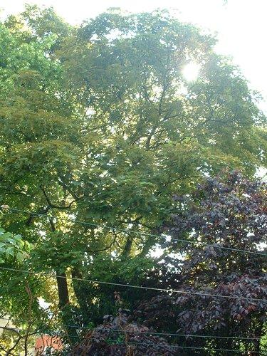 Erable sycomore – Forest, Avenue Van Volxem, 179 –  13 Mai 2003