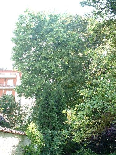 Tilleul à larges feuilles – Forest, Avenue Van Volxem, 179 –  13 Mai 2003