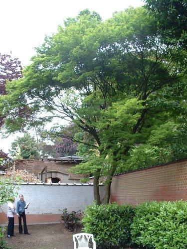 Erable palmé – Ixelles, Rue Franz Merjay, 188 –  14 Mai 2003