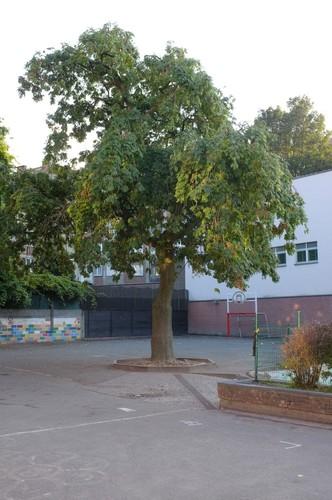 Frêne pleureur – Etterbeek, Rue Fort de Boncelles, 8 –  06 Octobre 2013