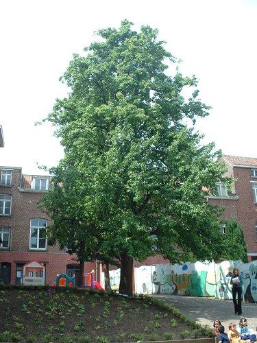 Poirier cultivé – Etterbeek, Rue Général Fivé, 38 –  16 Mai 2003
